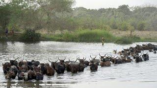 Cameroun: les vaccinations de bétail reprennent [No Comment]