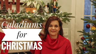 Caladiums for Christmas // Gardening with Creekside