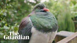 Inebriated kererū pigeons binge on fruit punch