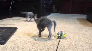 Bouncy Lykoi Kittens!