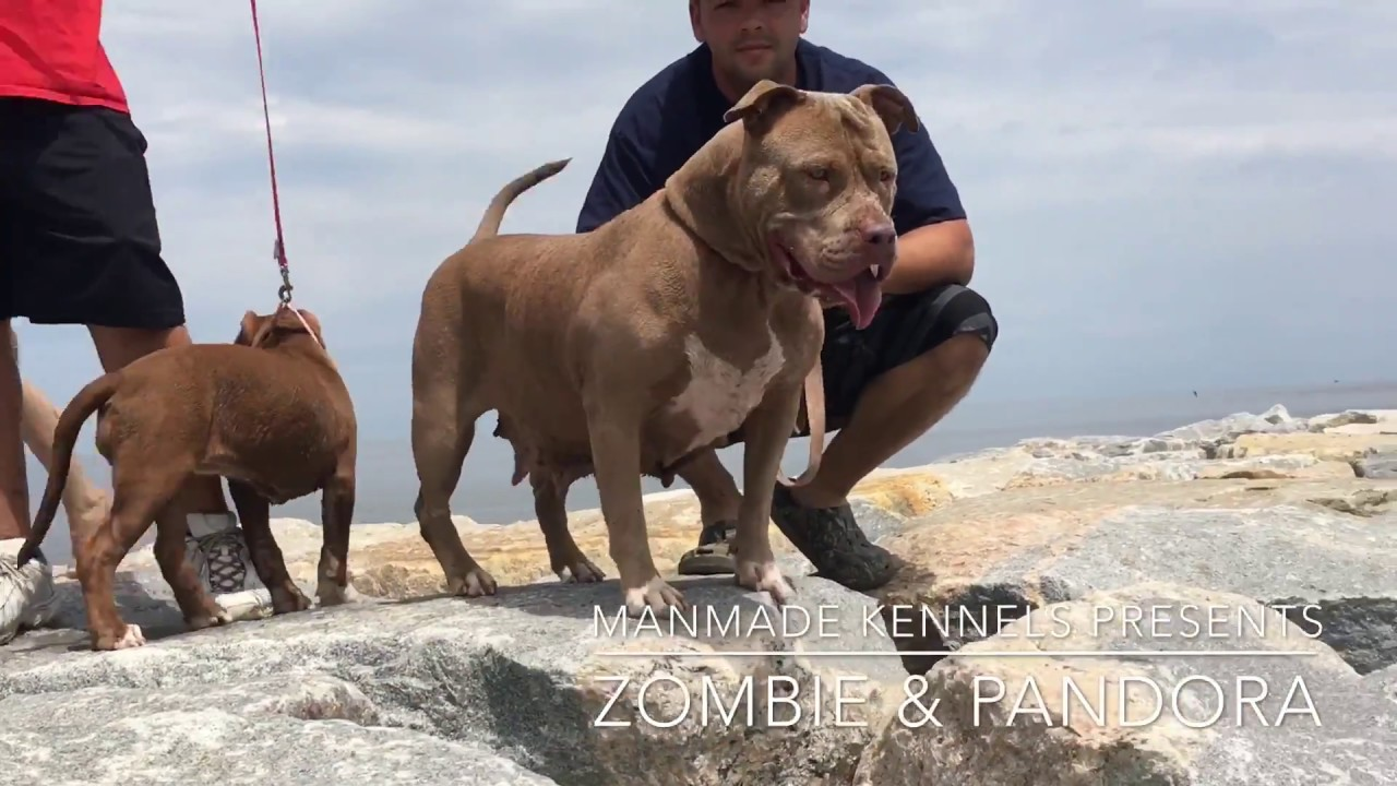 Pitbull Puppies For Sale In Broward