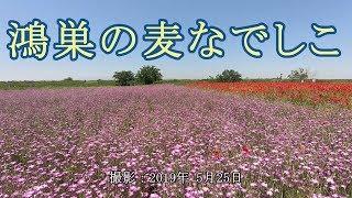 鴻巣の麦なでしこ [4K] thumbnail