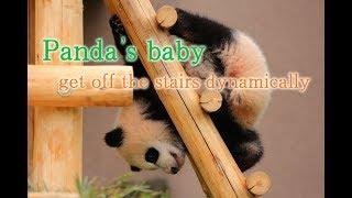 Panda's babe get off the stairs dynamically.  赤ちゃんパンダのダイナミックな階段の降り方🐼 thumbnail