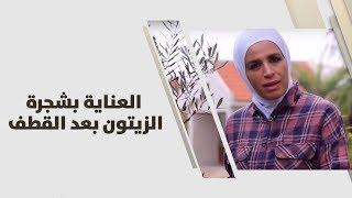 م. أمل القيمري - العناية بشجرة الزيتون بعد القطف