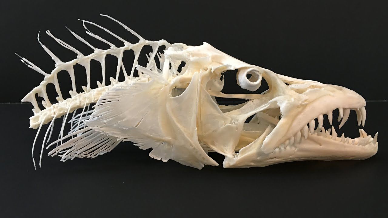 Atlantic Cutlass Fish Skull - YouTube