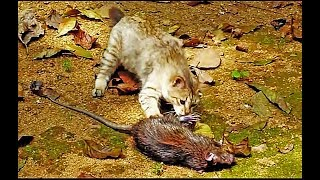 Little kitty-cat with one of the biggest rats!