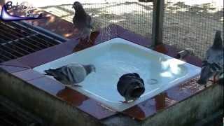 Pigeons Bath / Tauben Baden / Palomas Baño (2012)