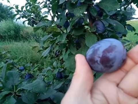 Слива: лучшие сорта - Сады Сибири