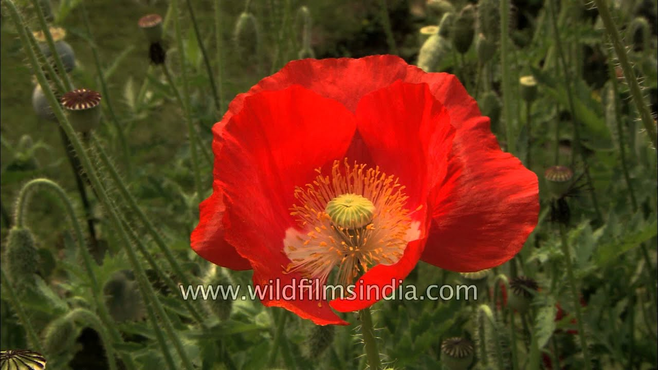 Red Poppy Papaver Flower Youtube