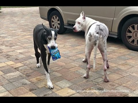 Happy Great Danes Loves to Carry Mini Oreo Cookie Snacks