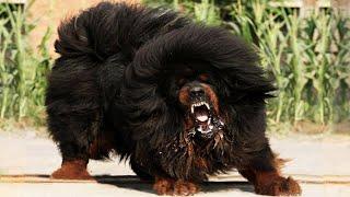 Лучшие сторожевые собаки в мире!