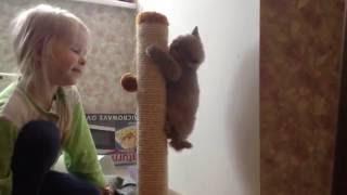 British cats/ Британские котята, изучаем когтеточку;)