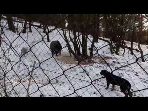 Bedlington terrier vs. wild boar