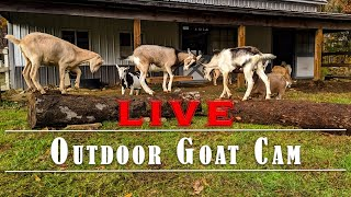 Outdoor Goat Cam - Goats on the Farmstead