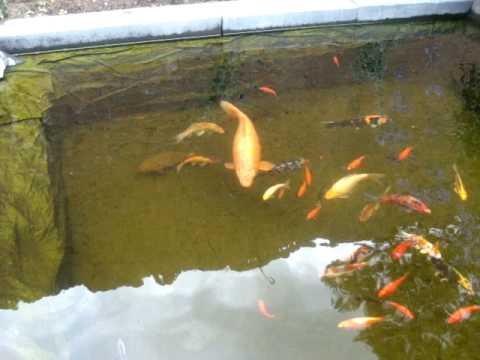 Break through in koi pond water quality doovi for Koi pond water quality levels