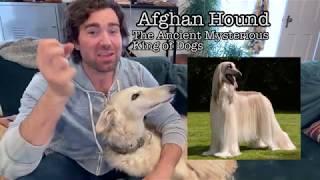 Episode 2  Origins of Doggos  Afghan Hound