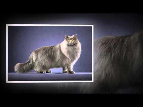 Британская длинношерстная кошка: невероятно красивая и послушная из всех пород