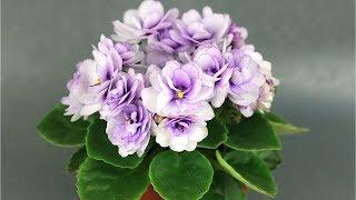 Минифиалка с шапкой сиреневых цветов - АВ-Кисельные Берега