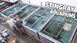 huge-stingray-breeding-facility-feeding