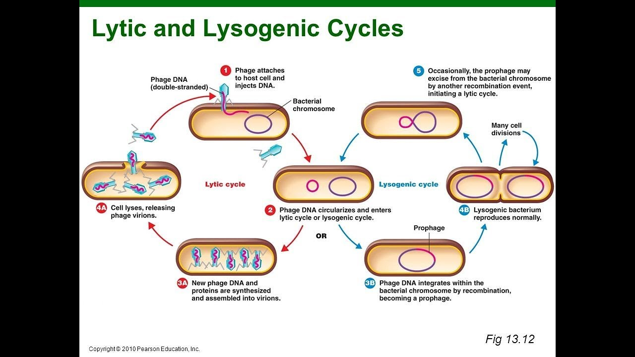 hight resolution of virus lysogenic cycle animation hd