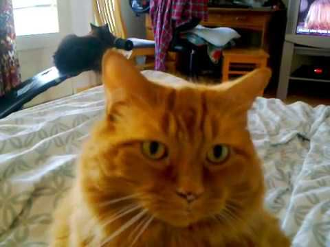 Our big cymric cat Huli.