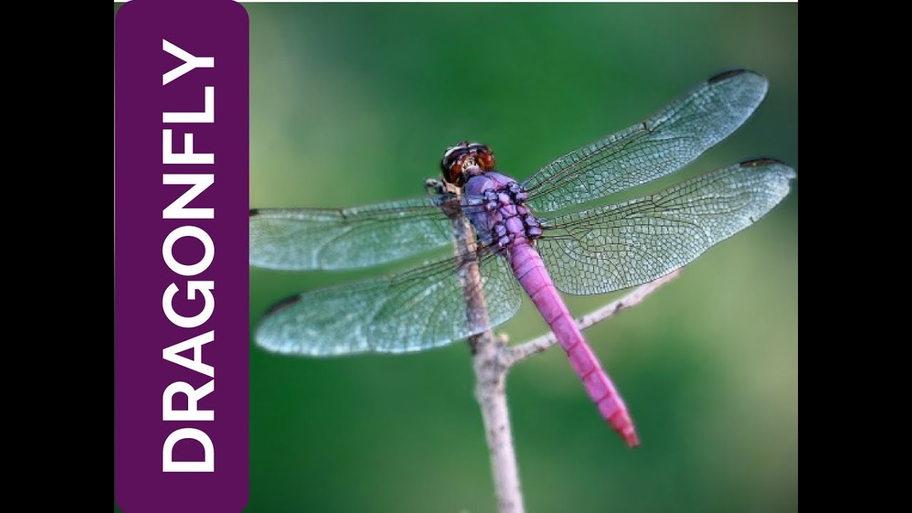 Dragonfly Meaning  Life Is Fleeting  Spirit Animal  Power