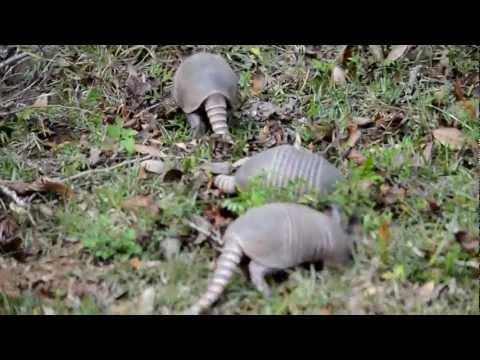 Armadillos foraging