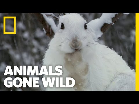 Snow Bunny Survivor | Animals Gone Wild
