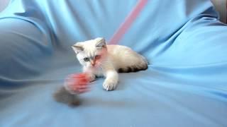 кошка золото поинт 3 месяца