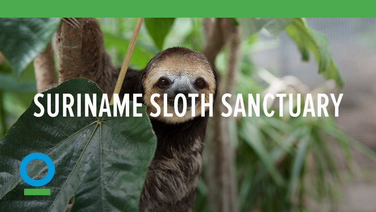Slothified! CI Visits a Sloth Sanctuary in Suriname ...