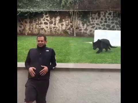 Il se retrouve de dos devant une panthère noire !