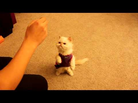 Thumbnail for Cat Video Cat training: Marie learns basic commands