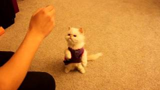 Cat training: Marie learns basic commands