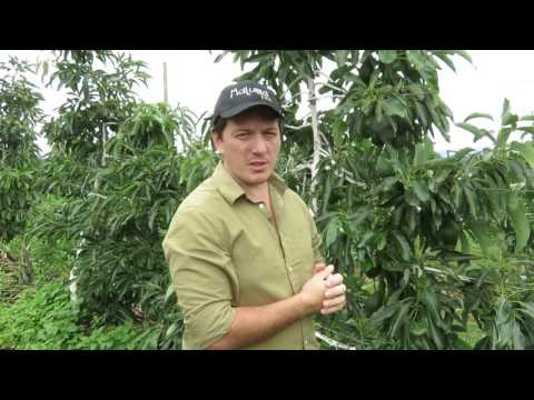 Avocado Trellising: Growing like apple trees in South African orchard