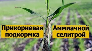 Подкормка пшеницы весной аммиачной селитрой.Селитра - удобрение для пшеницы.