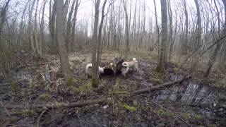Охота на кабана с собаками The Hunting of wild boar with dogs GoPro HERO4 Black