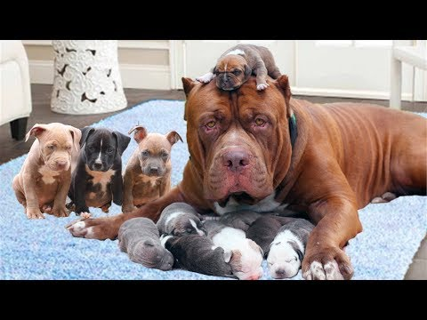 Mom Pitbull dog happy to welcome new members- Dog giving birth video
