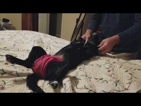 How To Perform a Sacral Cranial Massage on Bug