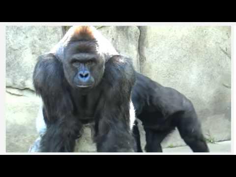 Gorilla moment grabbes breast girls reserve