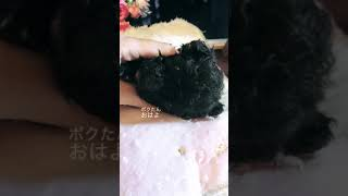 トイプードルベビーシルバー♂ thumbnail