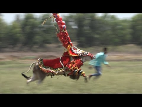 Huluginakoppada Nayaka Hallikar bull Jumping Fast running !! Hori habba Jallikattu