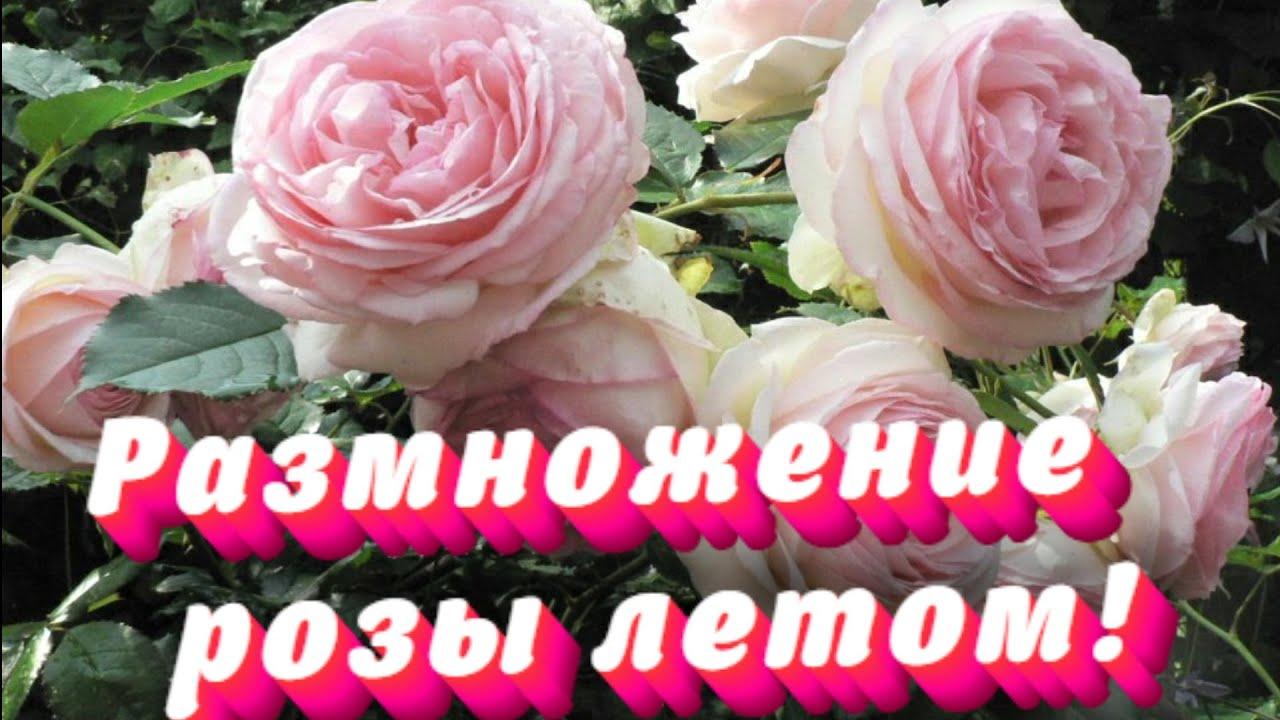 УКОРЕНИТЬ САДОВУЮ РОЗУ! Простой способ как укоренить (размножить) садовую розу.