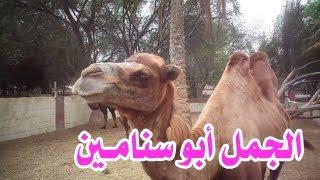 الجمل ذو السَنَامَيْن أو البعير ذو السَنَامَيْن أو الفَلْج -  Camelus bactrianus ( حديقة الدوسري )