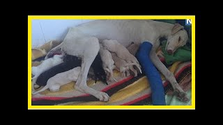 | Dog Rescue StoriesStray Mother Dog With Broken Leg Leads Vet To Her Puppies