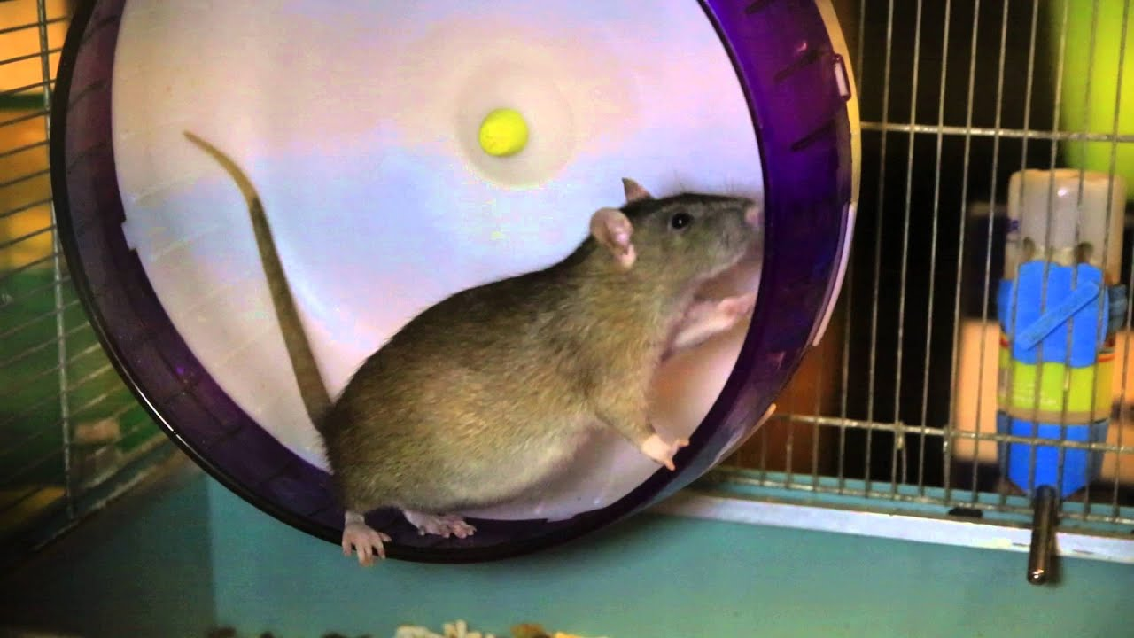 крыса беременная фото