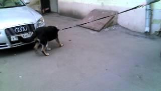 Лечение остеосаркомы у собаки Марты