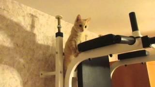 Персик поднимается по шведской стенке. Первый раз(С того момента как мы завели Персика, он любил сидеть высоко: на спинке дивана, на раковине, на письменном..., 2016-03-12T14:45:42.000Z)