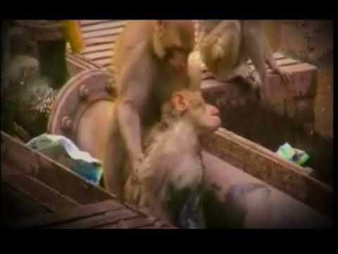 Jaane Nahin Denge Tujhe - 3 Idiots_monkey version