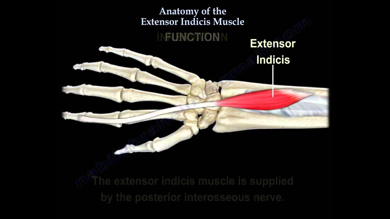 Anatomy Of The Extensor Indicis Muscle - Everything You Need To Know ...