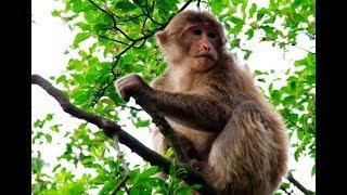 Tibetan macaques | CCTV English